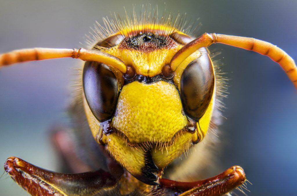 Пчела. Фото: shutterstock