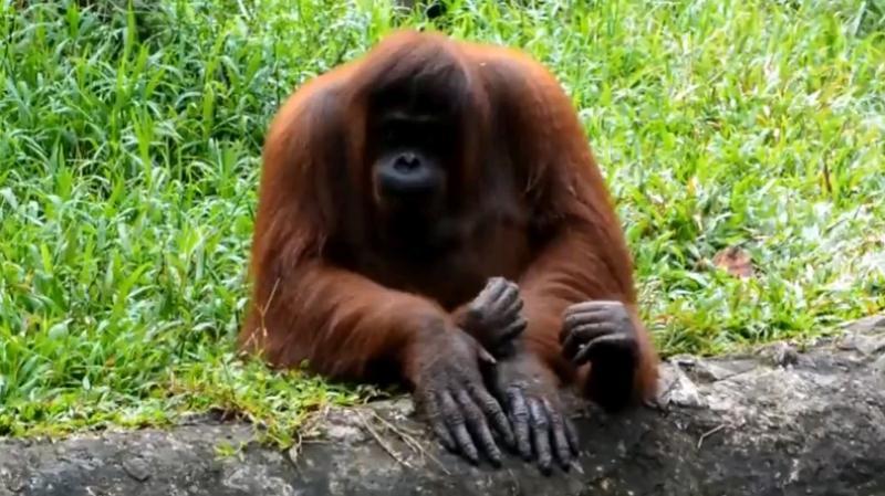 Считается, что орангутанги — одни из самых близких «родственников» человека