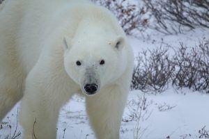 Полярный медведь. Северное сияние. https://pixabay.com/ru