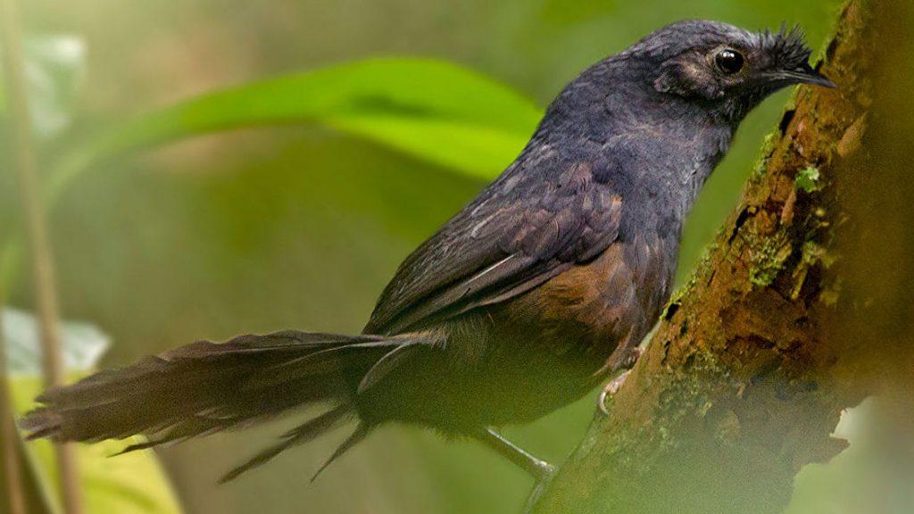 Топаколо Штреземанна. American Bird Conservancy /Ciro Albano