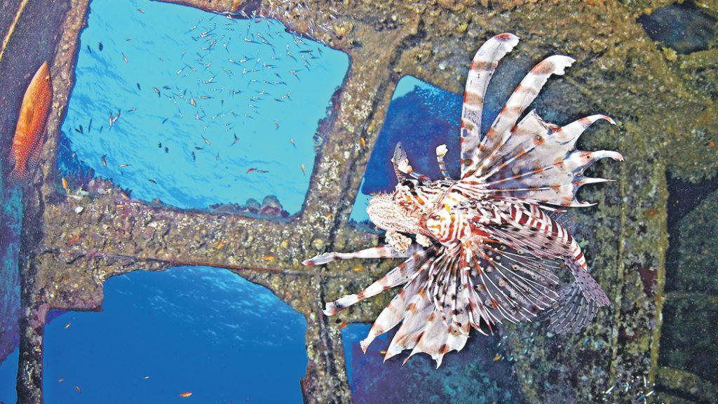 Снимок «Сижу за окошком в темнице сырой… Крылатка» можно увидеть в на фестивале «Дикий подвод- ный мир» в Дарвиновском музее. Этот эффектный кадр получился совершенно неожиданно. Оксана Каменская