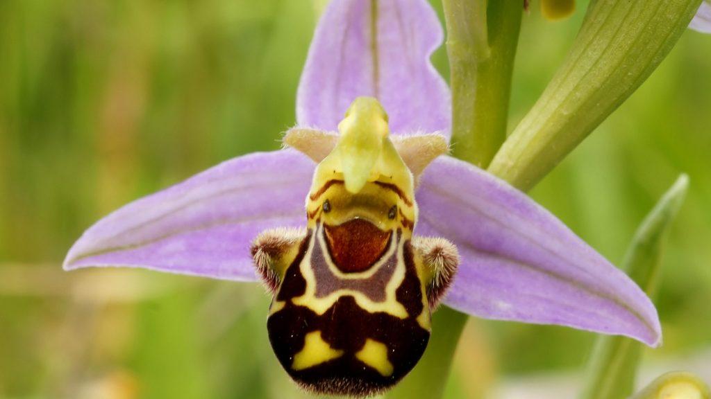 Однодольный орхидный орфис