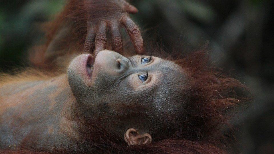 По результатам их исследования, еще приматы умели издавать контрастные гласные звуки, pixabay.com