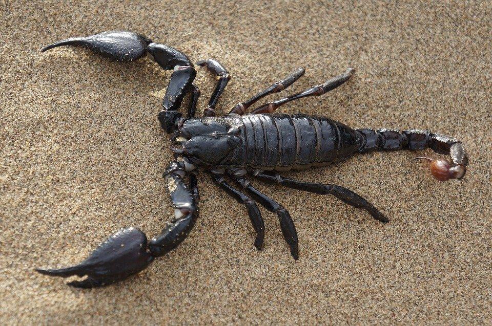 Специалисты уже придумали ему имя Parioscopio venator. В переводе с латыни это означает «прародитель скорпионов вида «охотник» / pixabay.com