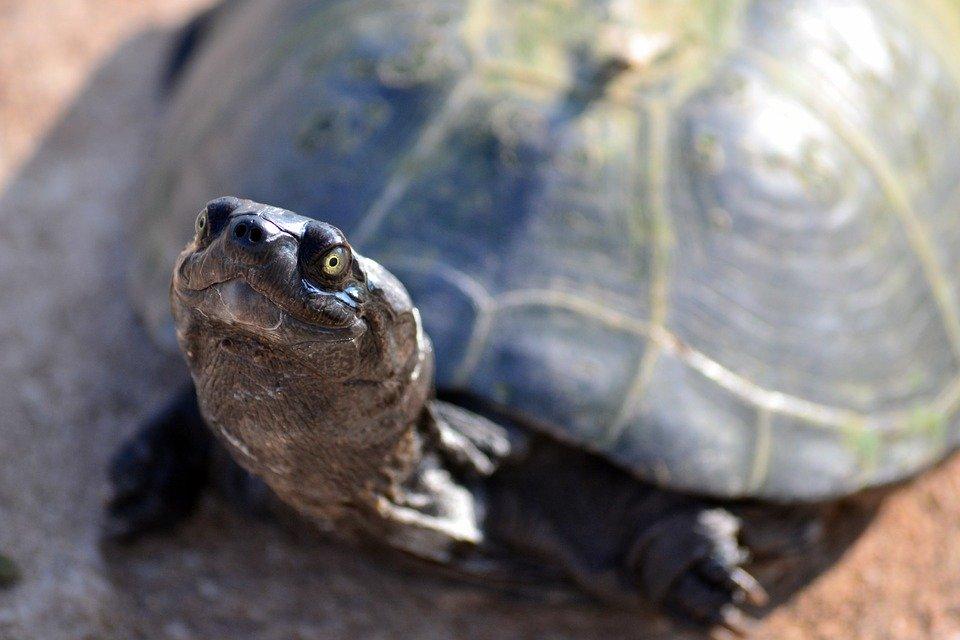 Доисторическая бокошейная черепаха, которой специалисты дали название Stupendemys geographicus, по массе во много раз превосходила современных гигантов из отряда пресмыкающихся, pixabay.com