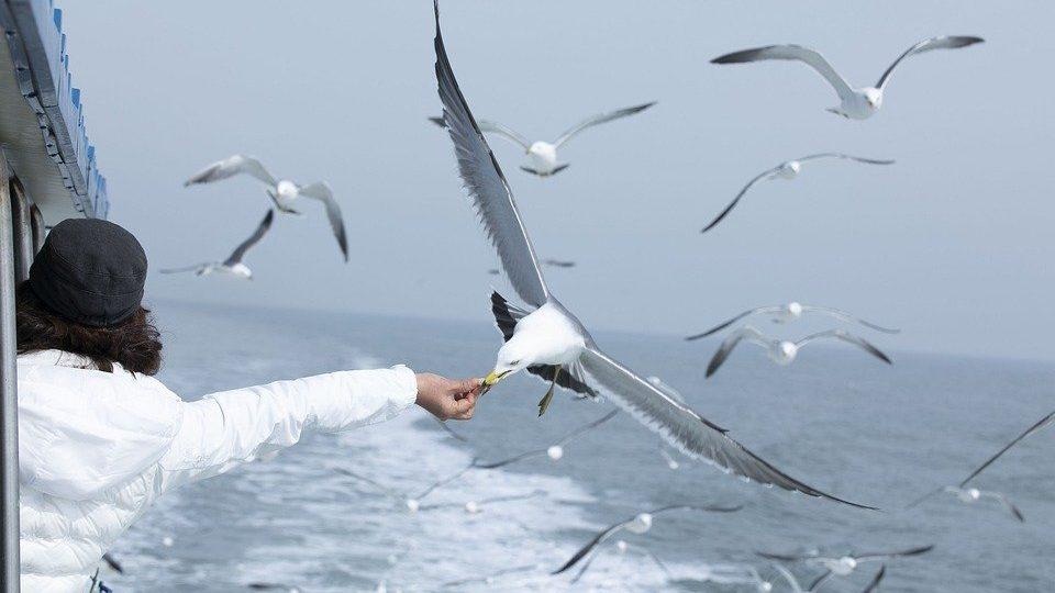По наблюдениям орнитологов из Британии, городские чайки склонны воровать именно ту еду, которая до этого побывала в руках у людей, pixabay.com
