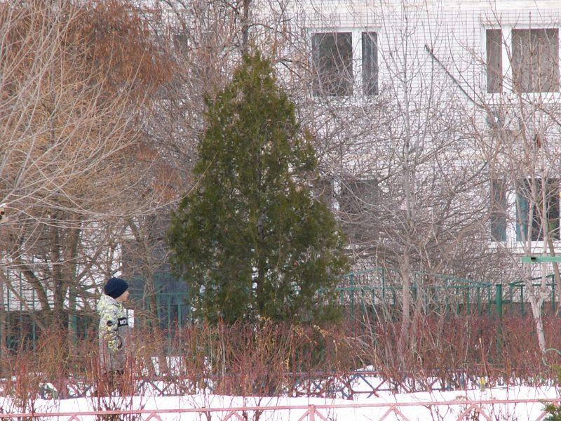 История плосковеточника восточного растущего в школьном саду. Дерево скорби Александра Македонского.